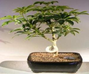 Umbrella Bonsai Tree