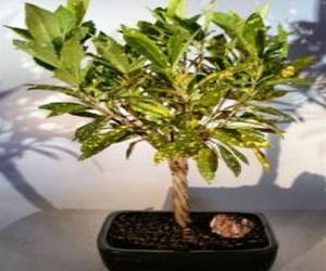 Braided Twist Bonsai Tree
